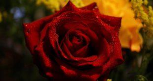 صوره صور عن الورد , الورود احلى واقوى مرسال غرام