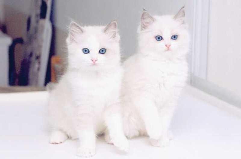بالصور قطط جميلة , اجمل قطة في العالم 687 5