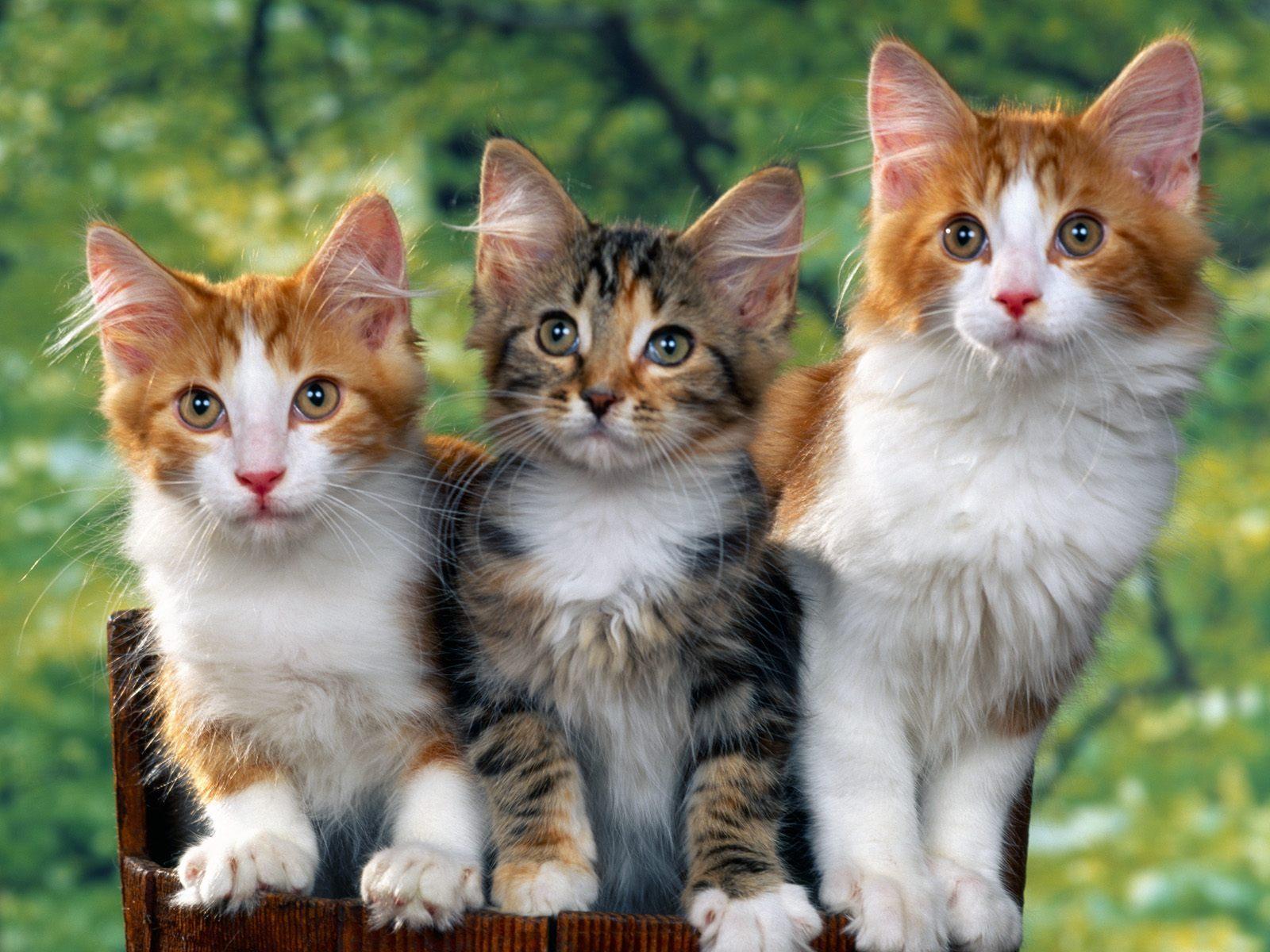 بالصور قطط جميلة , اجمل قطة في العالم 687 6