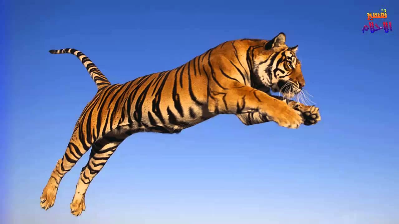 صور تفسير حلم رؤية نمر , ما هو تفسير حلم رؤيه النمر في المنام