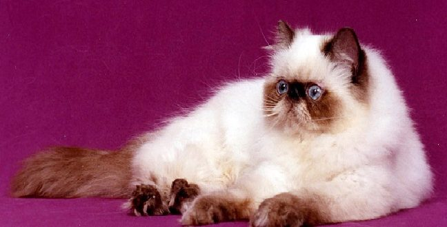 صور قطط هملايا , اجمل صورة لقطط الهملايا