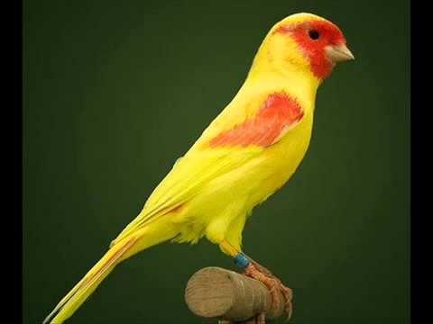 صور انواع الكناري , الاشكال العصافير الرقيق