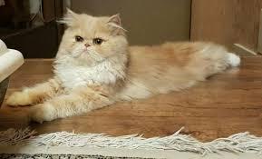 صور صور قطط شيرازي , اجمل القطط
