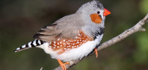 صور صور عصافير , اروع خفليات طيور الزينه