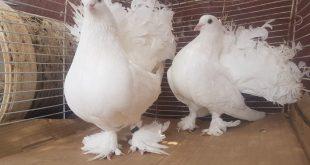 صور صور حمام هزاز , اجمل رمزيات لطيور الحمام