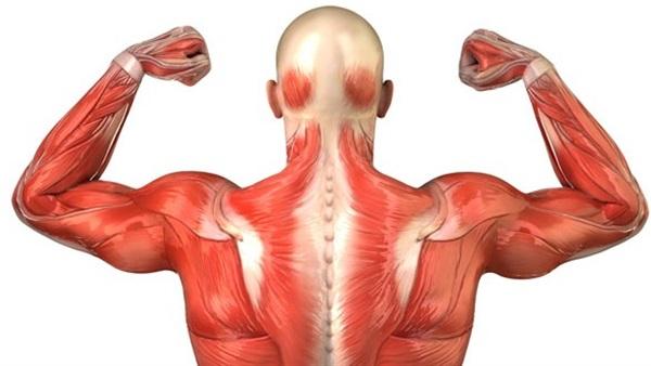 صور كم عدد عضلات جسم الانسان , كم تبلغ عضلات الجسد البشرى من عدد