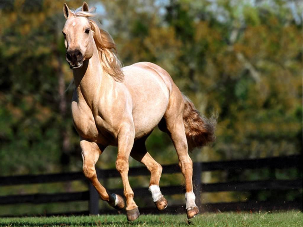 خيول عربية اصيلة الخيل 3