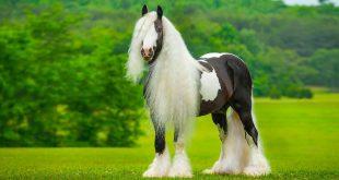 صورة اجمل خيول في العالم , صور جياد رائعه الجمال