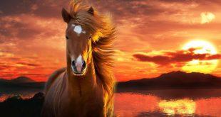 خيول عربية , صور حصان عربي اصيل