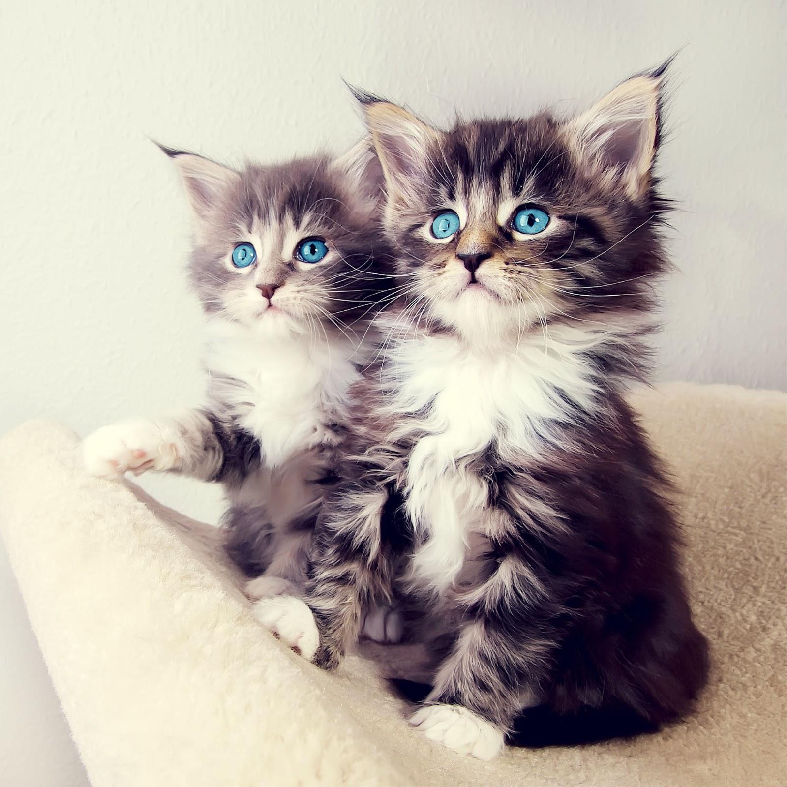 صور اجمل صور قطط , خلفيات لاحلى القطط