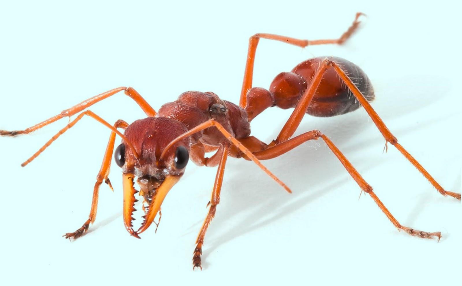 صور معلومات عن النمل , تفاصيل عن حياه النمل
